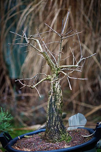 my big german oak - Yamadori 410