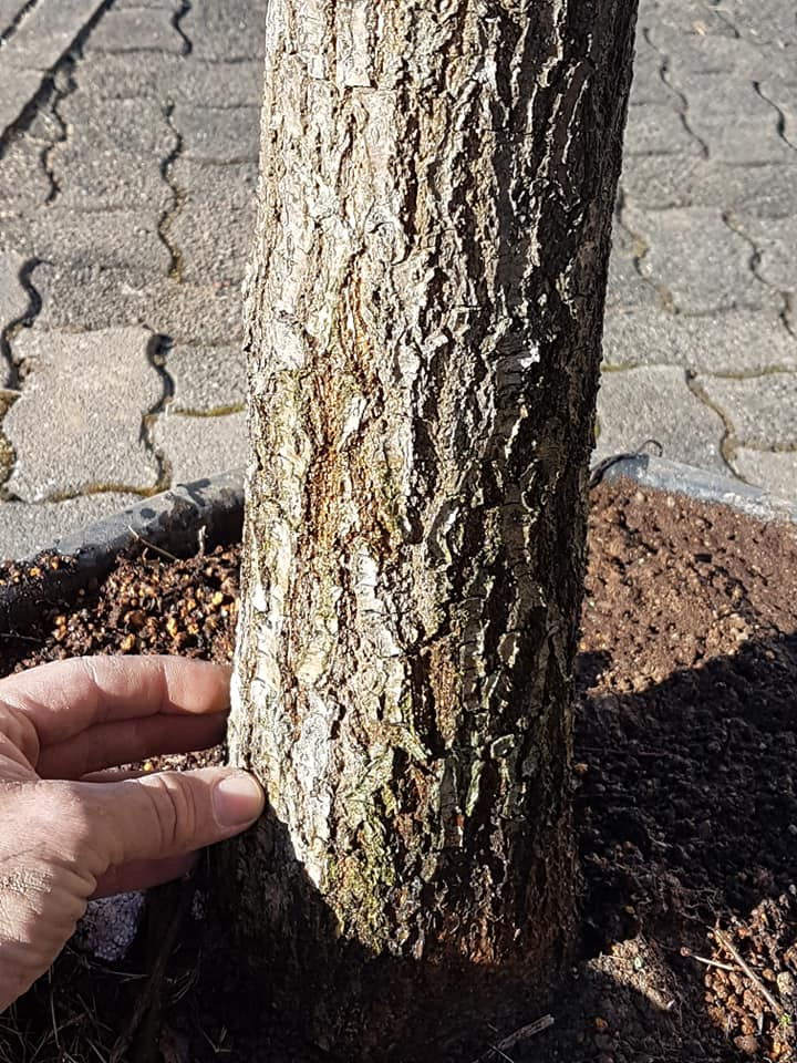 new oak yamadori...  411