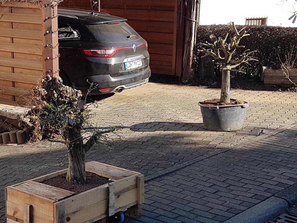 new oak yamadori...  511