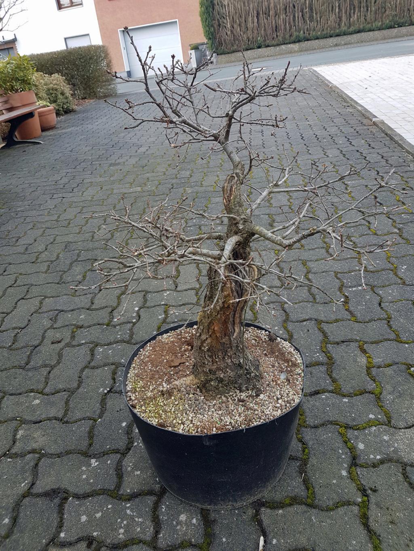 my big german oak - Yamadori 610