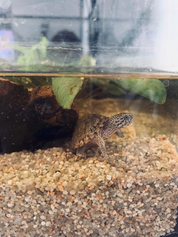 Quels poissons avec mon bébé sternotherus 1a04e510