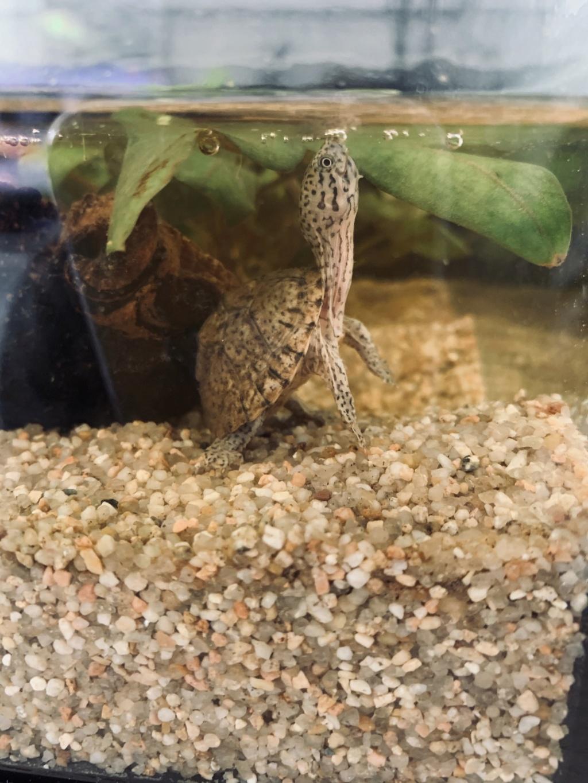 Quels poissons avec mon bébé sternotherus 28805010