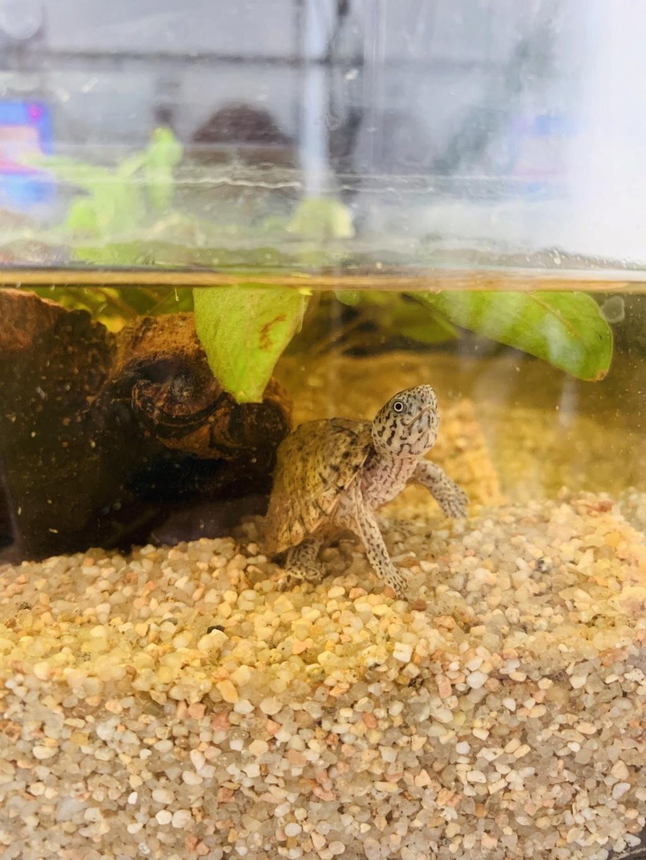 Quels poissons avec mon bébé sternotherus 38e09010
