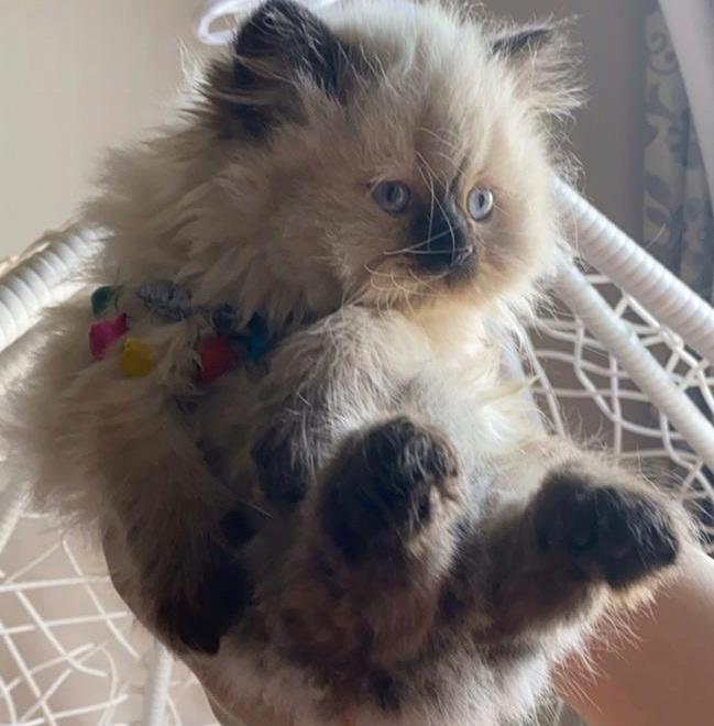 قطط للبيع في الرياض عيونها ازرق تجنن Captur10