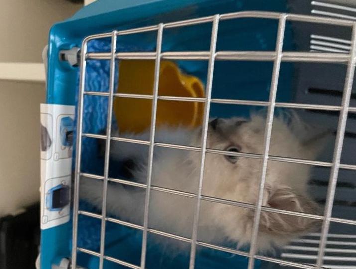 قطط للبيع في الرياض ب 150 Captur11