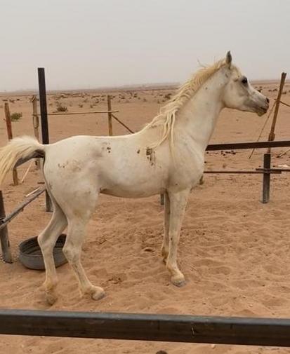 حصان شعبي للبيع حراج في القصيم Eee10