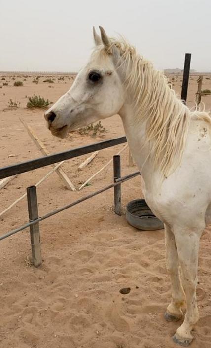 حصان شعبي للبيع حراج في القصيم Eeeeee10
