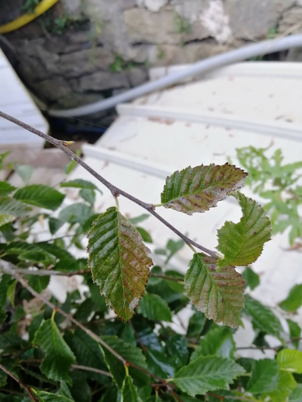 Carpino nero - Problema foglie Img_2012