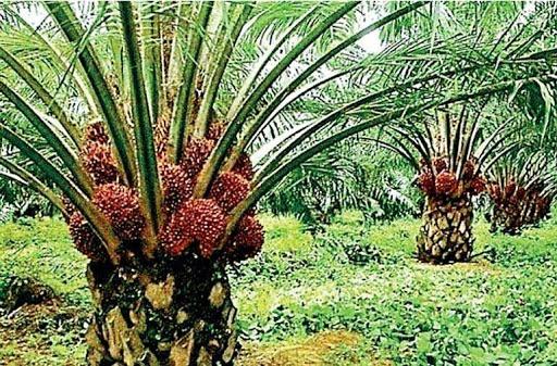 Sri Lanka bans palm oil imports, tells producers to uproot plantations 53c8f910