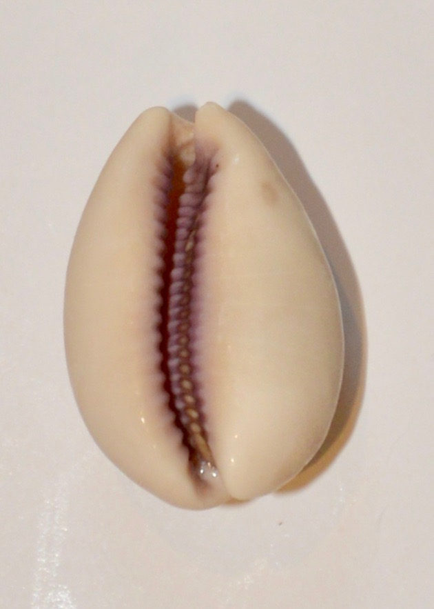Lyncina carneola f. crassa - Gmelin, 1791 Chx_1012