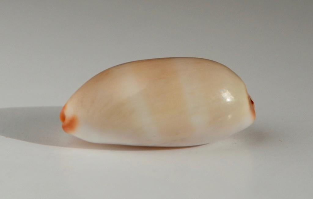 Luria isabella (Linnaeus, 1758) - sub-adulte Chx_1111