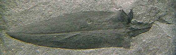 Sigillariostrobus  ou  Lepidostrobus  012-br10