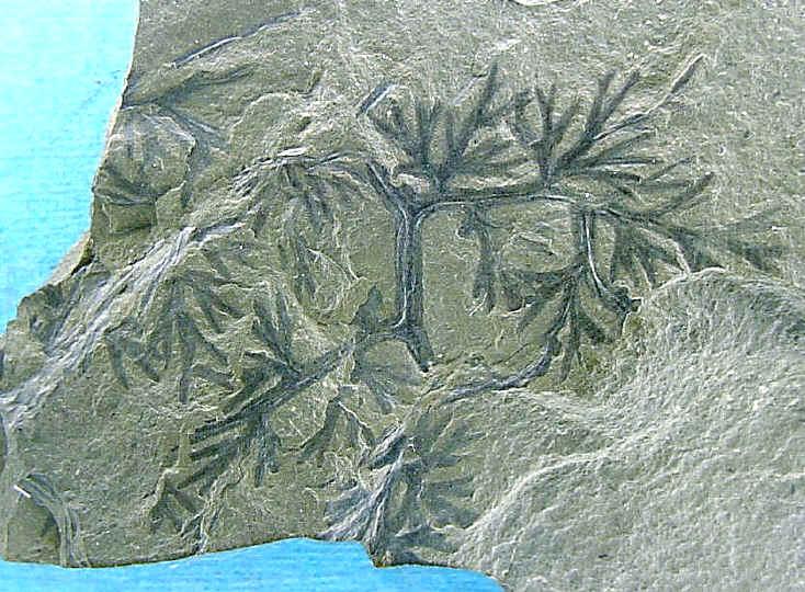 Rhodeites  Urnatopteris   118a-f10