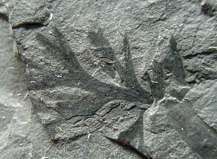 Rhodeites  Urnatopteris   119-fr10