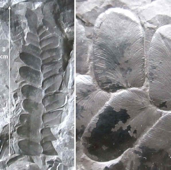 Neuropteris ovata Hoffmann . Cyclopteris Brongniart , 1830.  13910
