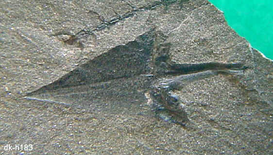 Sigillariostrobus  ou  Lepidostrobus  183_le10