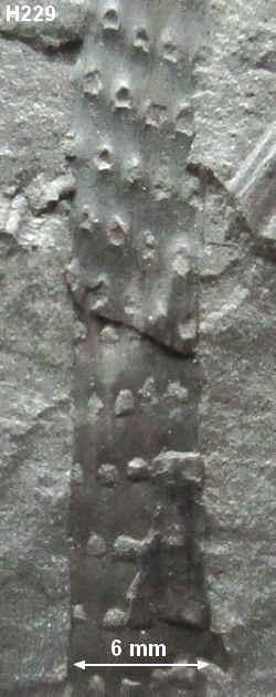 Sigillariostrobus  ou  Lepidostrobus  22910