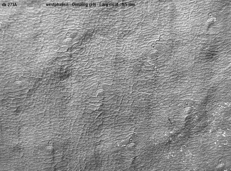Bothrodendron Lindley et Hutton ,1833. 273a210