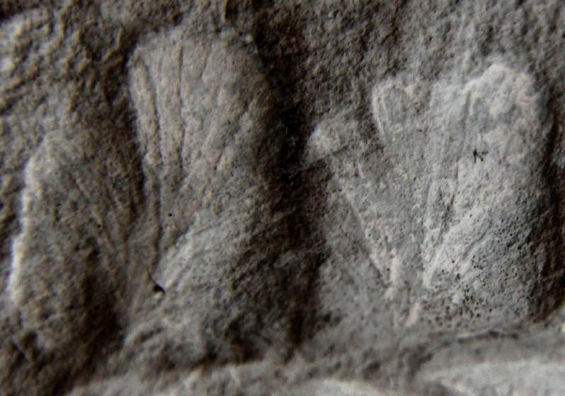 Eusphenopteris rotundiloba, Eusphenopteris talensii 335det10