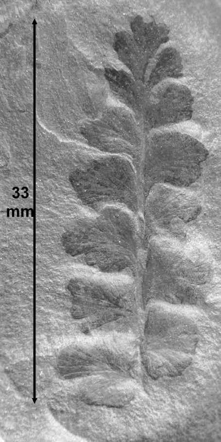 Eusphenopteris rotundiloba, Eusphenopteris talensii 335ex311