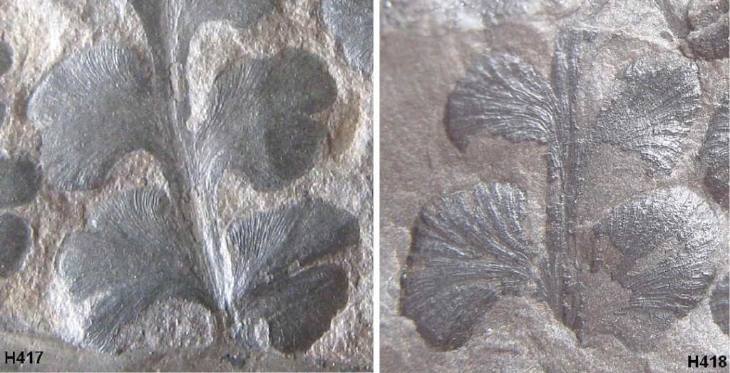 Eusphenopteris rotundiloba, Eusphenopteris talensii 417-4110