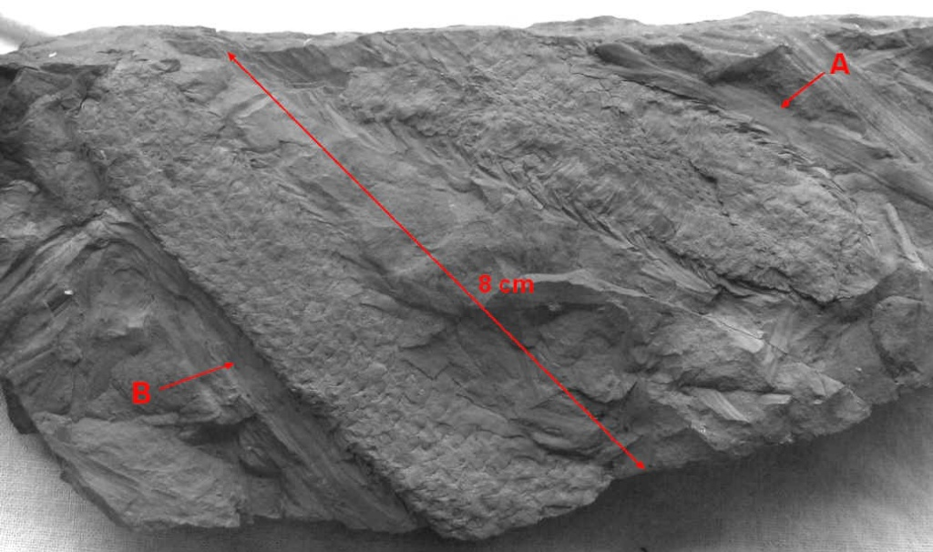 Sigillariostrobus  ou  Lepidostrobus  421ab10