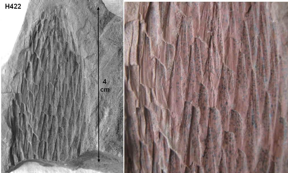 Sigillariostrobus  ou  Lepidostrobus  42210
