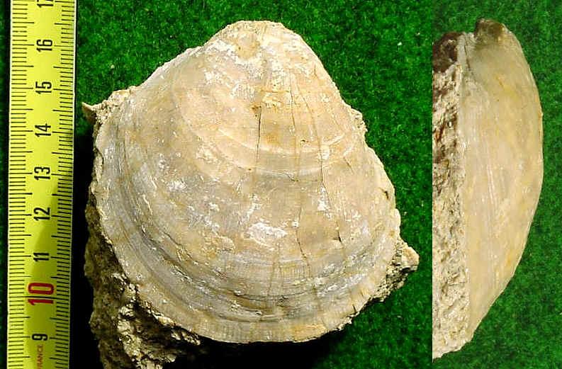 [résolu]Plagiosdtoma glabra (MÜNSTER in GOLDFUSS, 1836) Coq-ch10