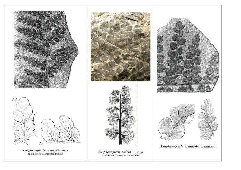 Eusphenopteris rotundiloba, Eusphenopteris talensii Eusphe10