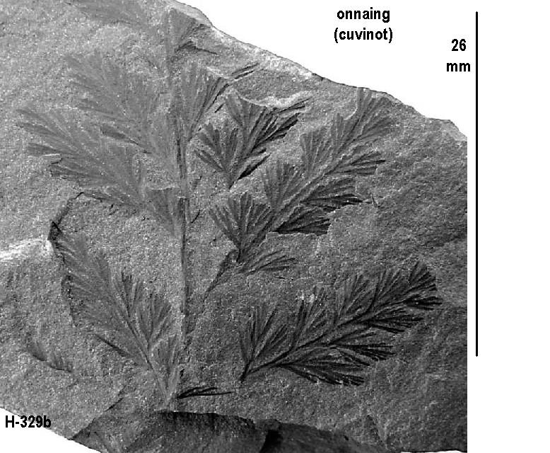 Rhodeites  Urnatopteris   H-329b10