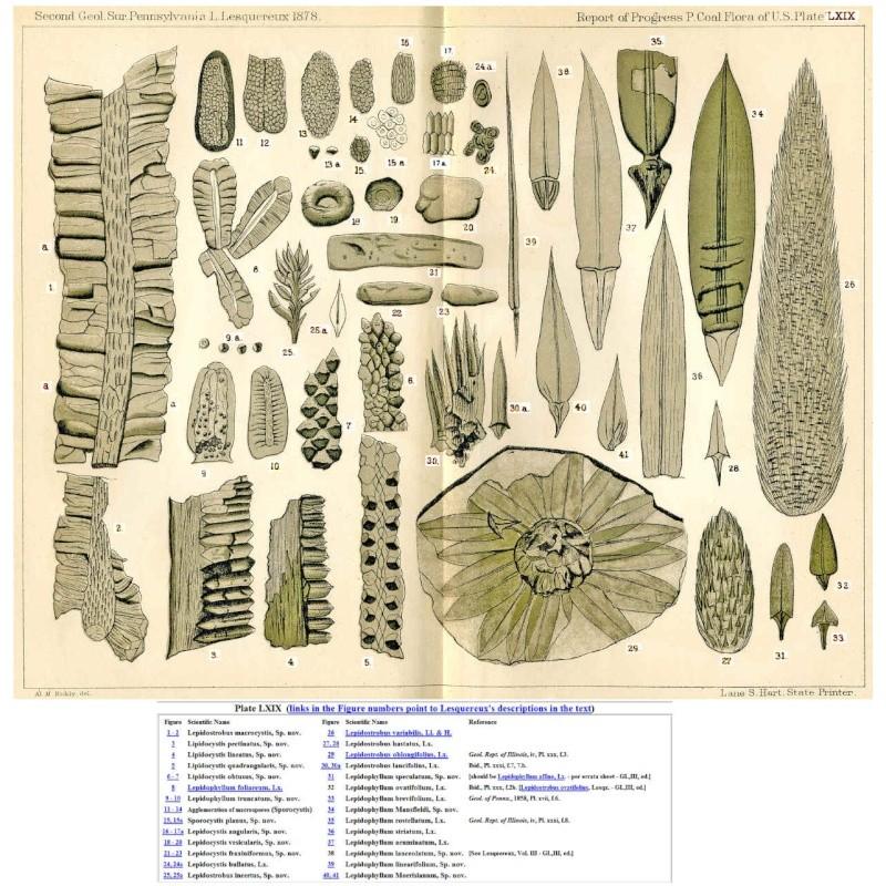 Sigillariostrobus  ou  Lepidostrobus  Lepido11