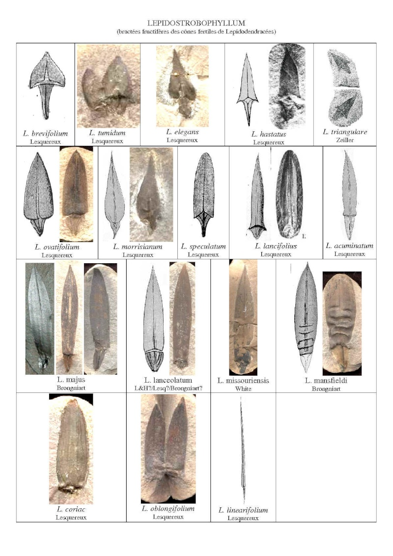 Sigillariostrobus  ou  Lepidostrobus  Lepido12
