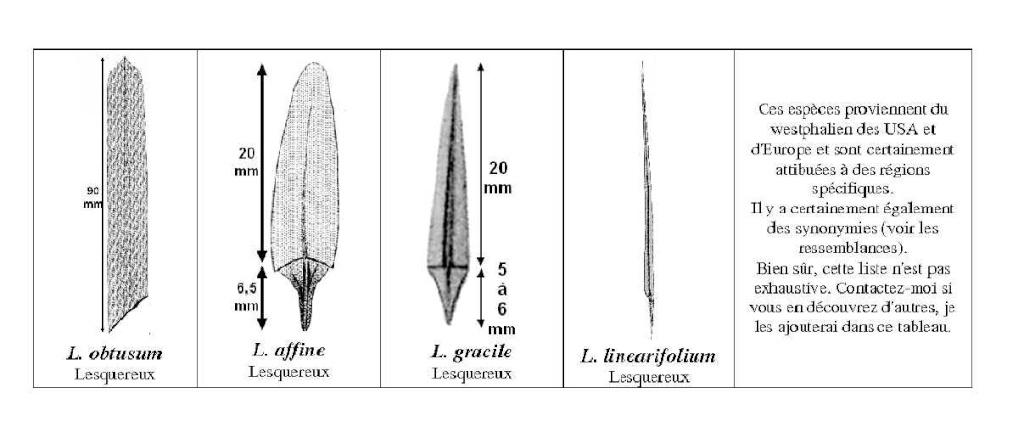 Sigillariostrobus  ou  Lepidostrobus  Lepido21