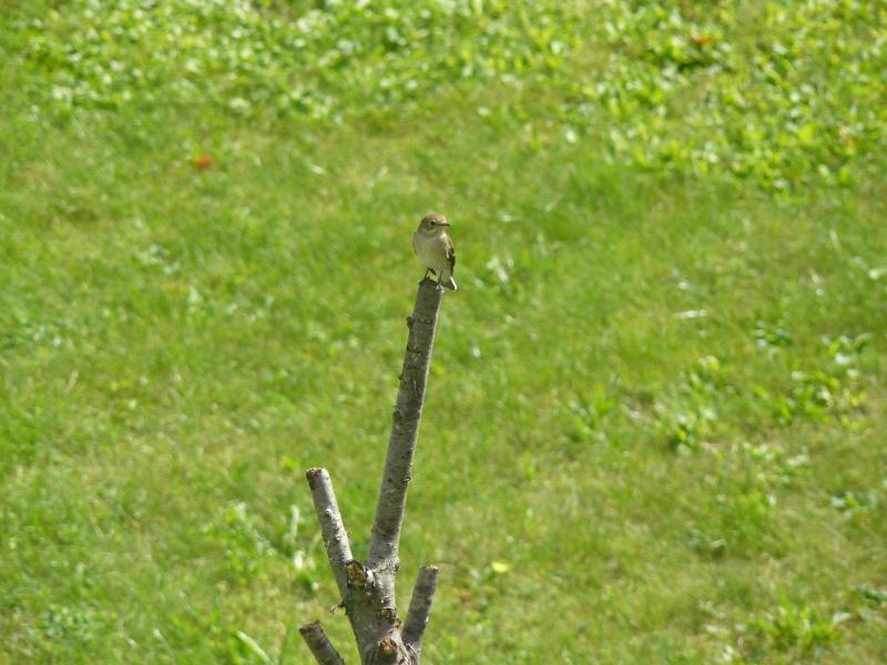 Photos d'oiseaux! P1020412