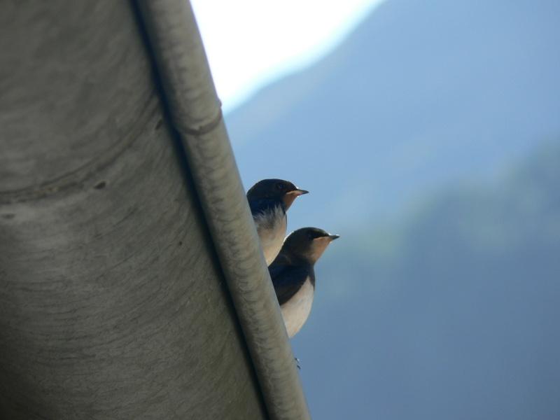 Photos d'oiseaux! P1030515