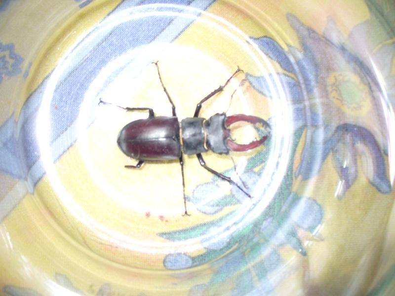 [Lucanus cervus] identification insecte noir reflet rpuge P1020610