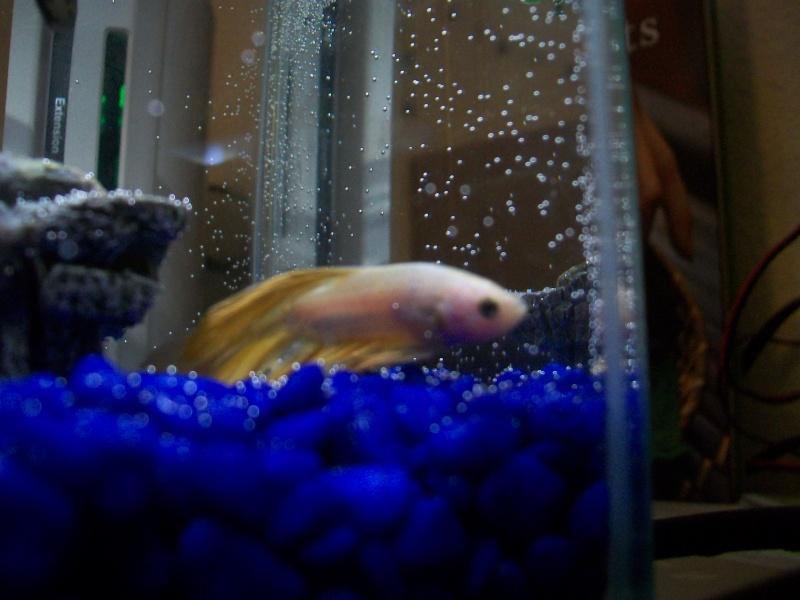 Betta prostré au fond de l'aquarium 100_4011