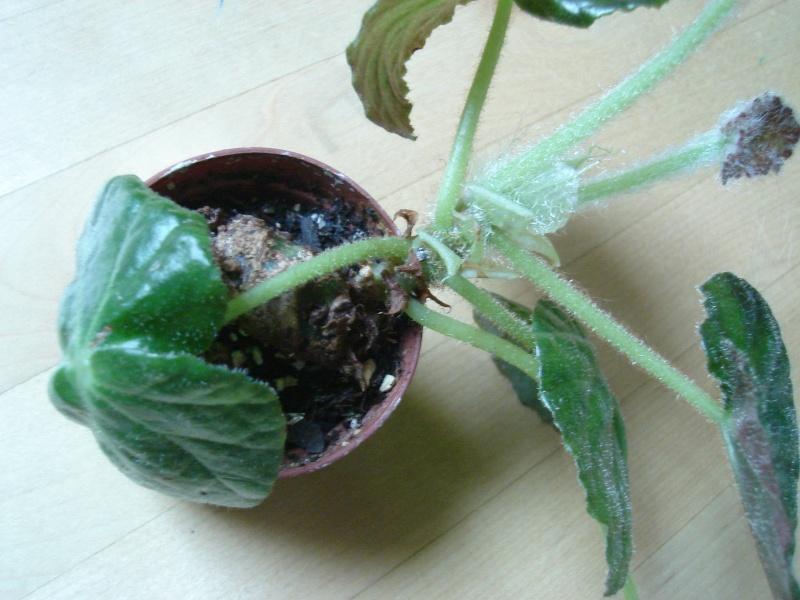 aide pour identification [Begonia Rip van Winckle?] Dsc02611