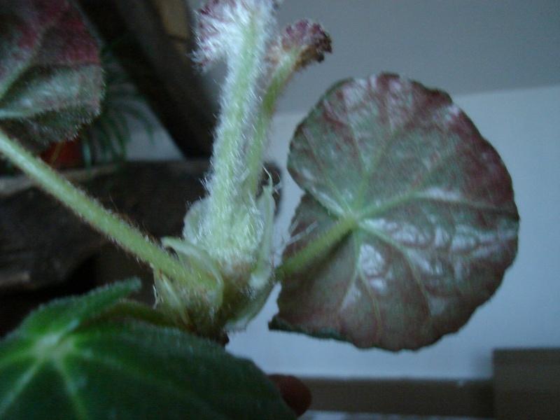 aide pour identification [Begonia Rip van Winckle?] Dsc02612