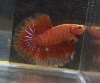 Rouge et cambodge ( geno orange...) Mal0110