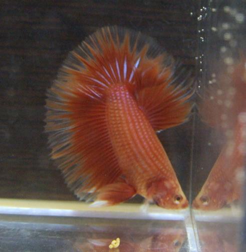Rouge et cambodge ( geno orange...) Mal0210