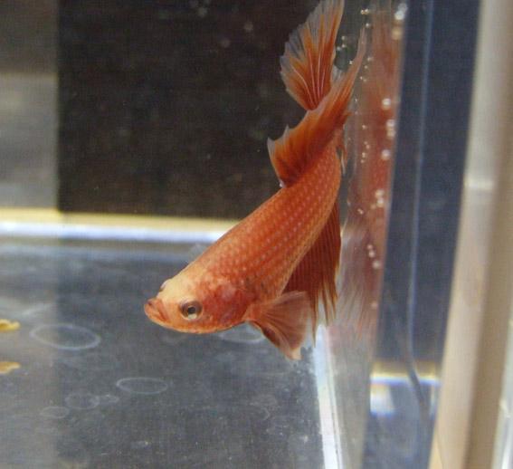 Rouge et cambodge ( geno orange...) Mal0310