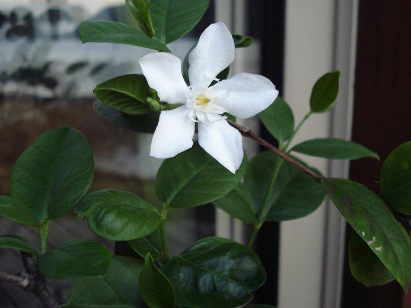 arbuste fleurs blanche - Wrightia antidysenterica Inconn10
