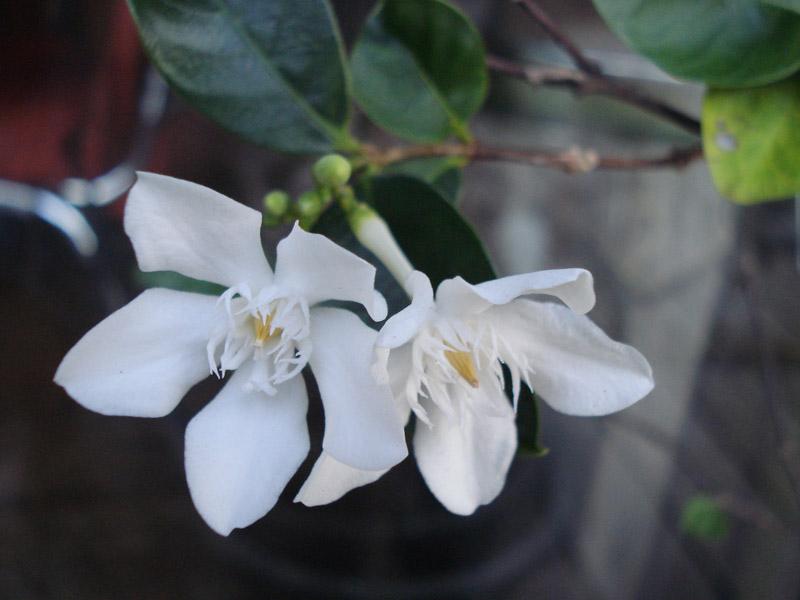 arbuste fleurs blanche - Wrightia antidysenterica Inconn11