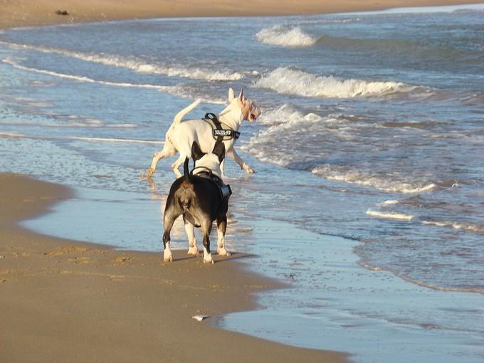 les bulls àla plage Dsc03529