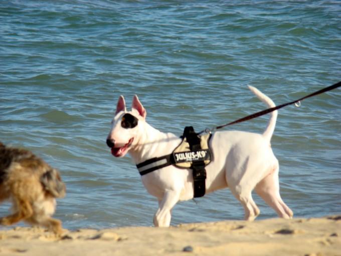 les bulls àla plage Dsc03665