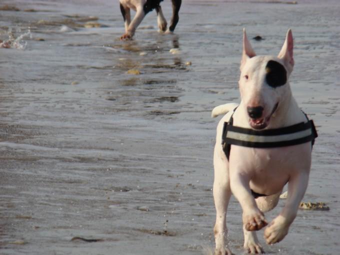 les bulls àla plage Dsc03748