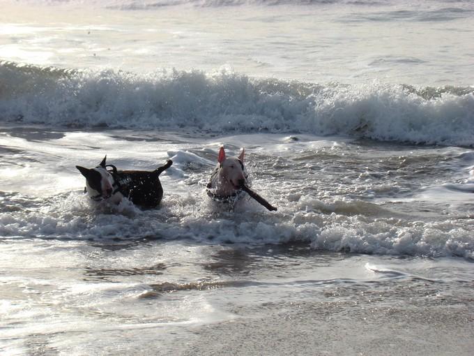 les bulls àla plage Dsc03749