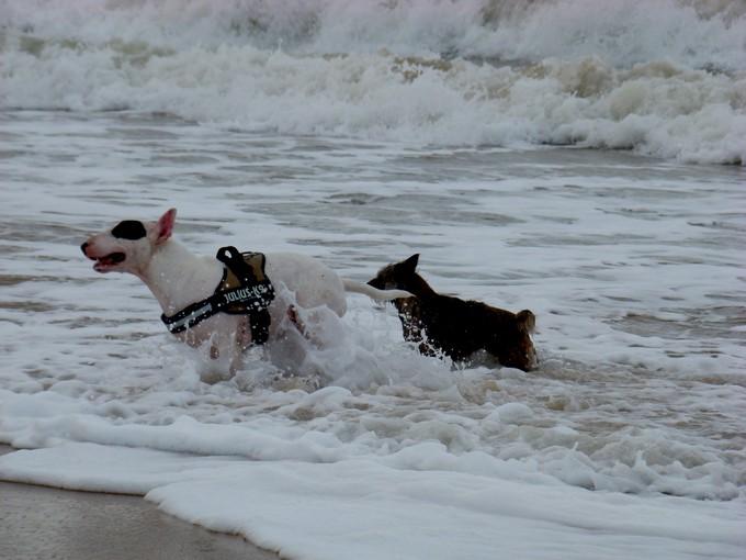 les bulls àla plage Dsc04290
