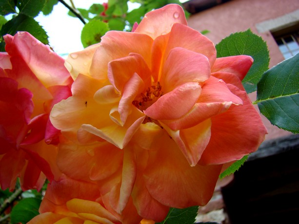 Votre plus belle rose Dsc05742